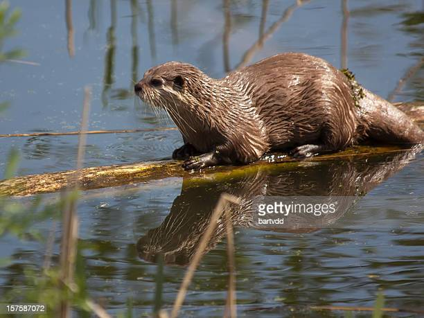 Wet otter resting on a floating log
