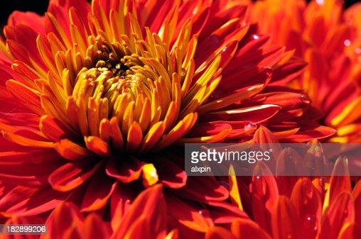 Wet red Chrysanthemum
