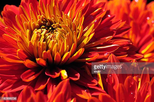 Wet red Chrysanthemum