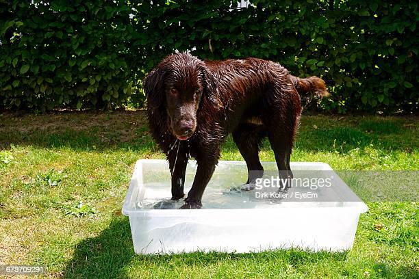 Wet Retriever Standing In Container At Backyard