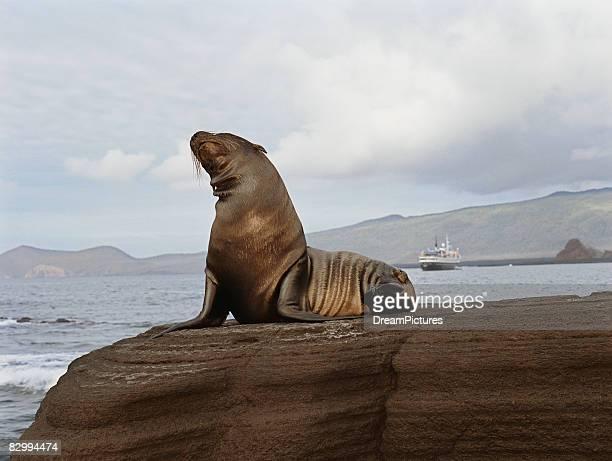 Wet seal sitting atop of rock near sea