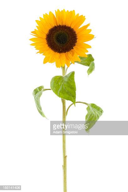 wet sunflower isolated on white