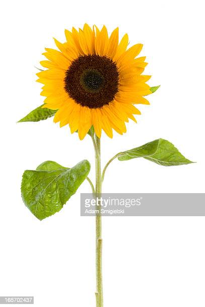 wet sunflower
