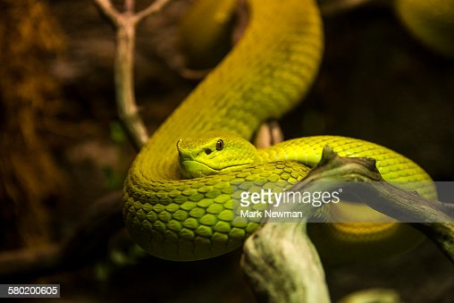 Wetar island viper