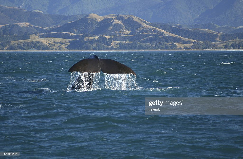 whale at sea kaikoura New Zealand