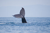 Living humpback whale diving - real wildlife photograph in costa rica, not arranged or manipulated