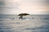 A Sperm Whale takes a twighlight dive off the east coast of northern New Zealand.
