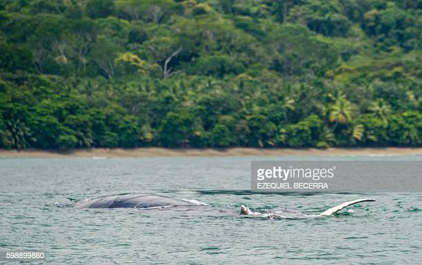 A whale is seen off Bahia Ballena Beach in Puntarenas about 230 km southwest of San Jose on September 2 2016 during the 8th Annual Whale and Dolphin...