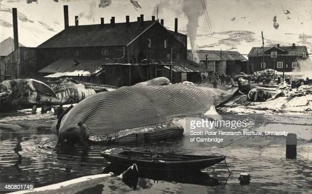 A whale on the flensing plan at Grytviken South Georgia taken during the Imperial TransAntarctic Expedition 191417 led by Ernest Shackleton