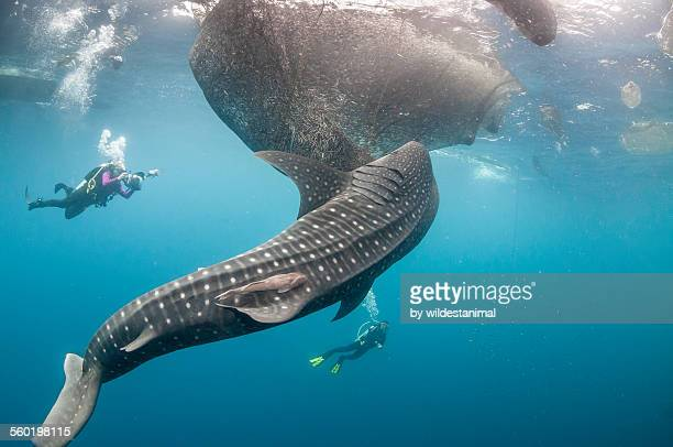 Whale shark and fishing nets