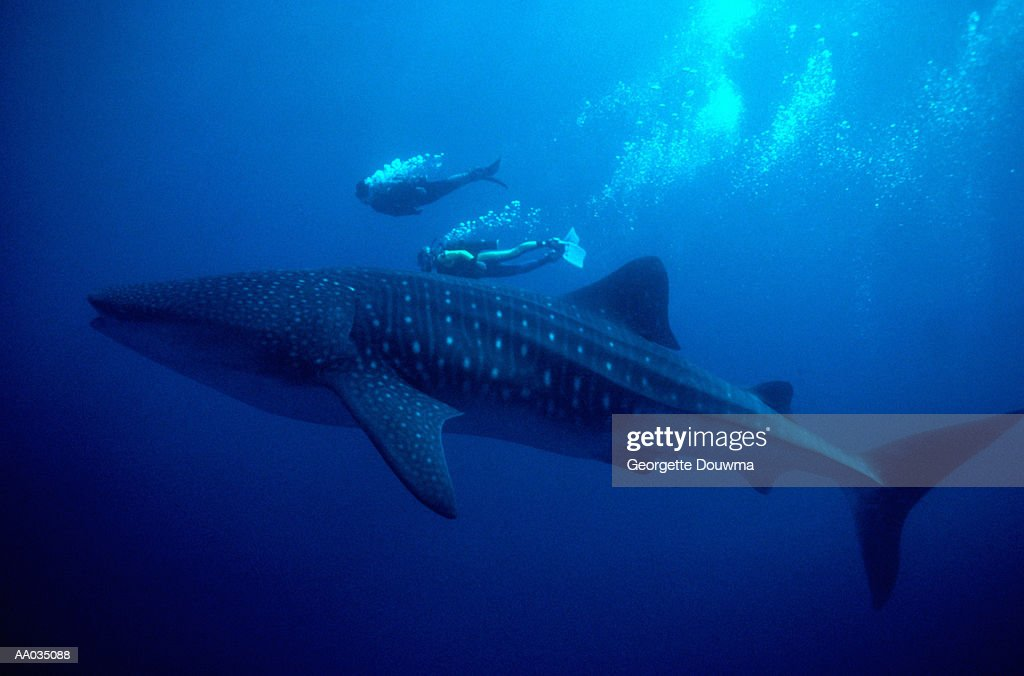Whale Shark and Scuba Divers : Stock Photo