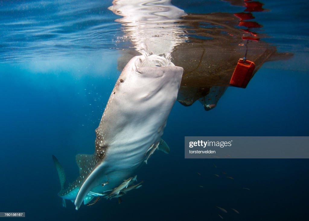 Whale shark feeding by a fishing net, Cenderawasih, Senaken, East Kalimantan, Indonesia : Stock Photo