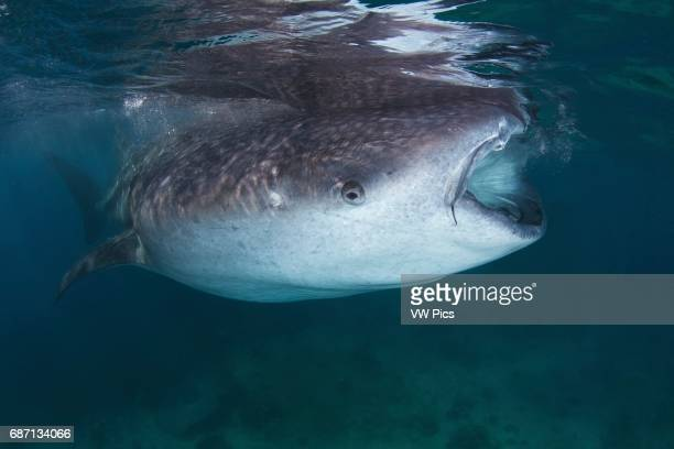 A whale shark feeding close to the surface in Oslob Philippines A whale shark swims in the blue water of the Bohol Sea of the Philippines Whale...
