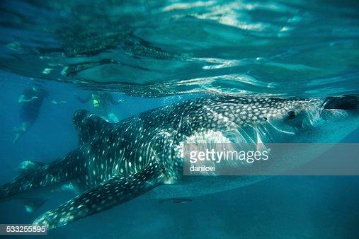 Whale shark feeding in Oslob - Philippines