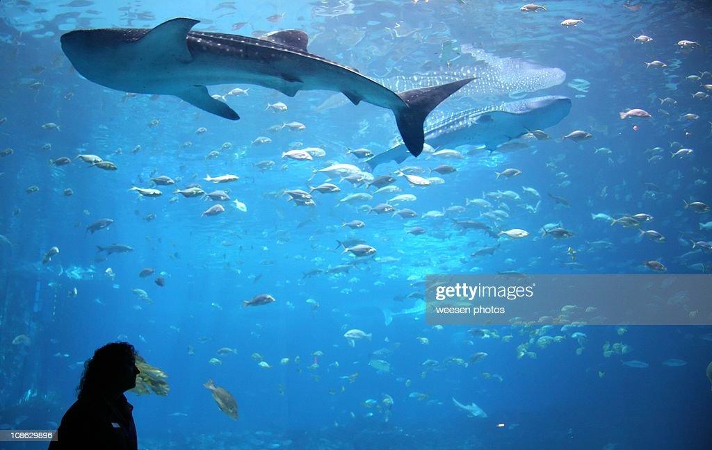 Whale shark in giant aquarium tank : Stock Photo