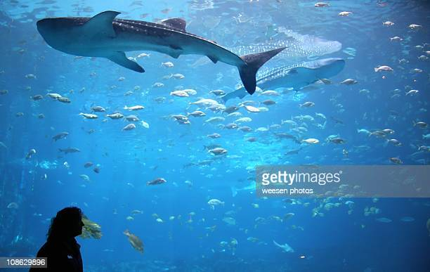 Whale shark in giant aquarium tank