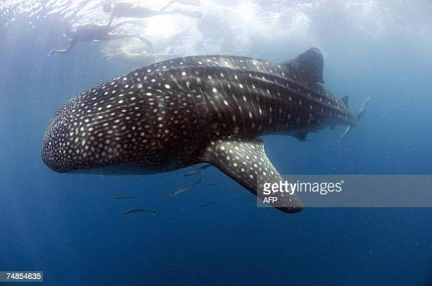 A whale shark nearly six meters long swims near the surface of the planktonrich water of Donsol 24 May 2007 while divers watch in the background The...