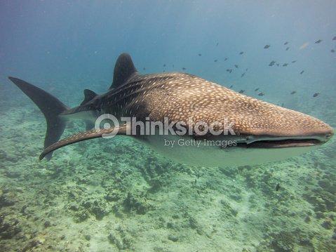 shark profile