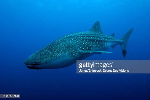 Whale Shark, Rhincodon typus, Cocos Island, Costa Rica. Largest fish in the ocean. Feeds on plankton and small schooling fish : Stock Photo