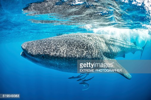 Whale shark swimming near the water surface
