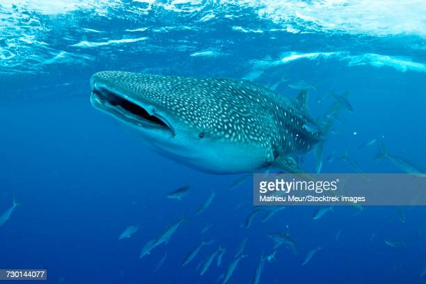 Whale shark swimming with mouth open, Maldives.