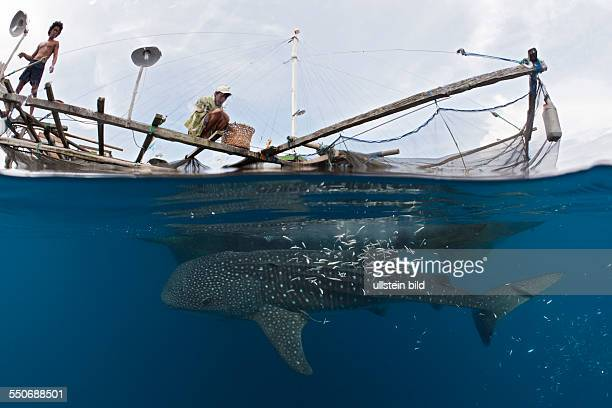 Whale Shark underneath Fishing Platform called Bagan Rhincodon typus Cenderawasih Bay West Papua Indonesia