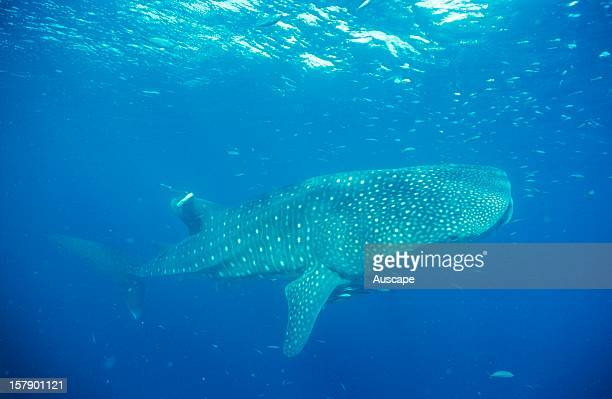 Whale shark with satellite tag worlds first tagging of a Whale shark Ningaloo Marine Park north of Carnarvon Western Australia