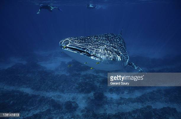 whale shark,rhincodon typus, with swimmers, ningaloo reef, australia