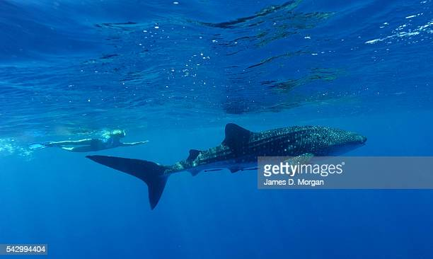 Whale Sharks watched by tourists off the coast on April 22 2012 in Ningaloo Reef Western Australia