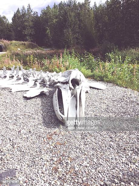 Whale Skeleton On Gravel In Alaska Native Heritage Center
