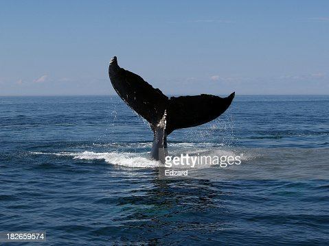 Whale tail above water as whale dives