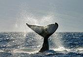 Whale tail fluke slap