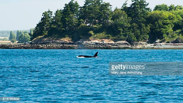 Whale Watching, Orca Whale