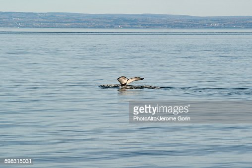 Whales fluke appearing above water