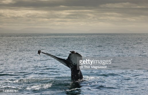Whales tail coming out of water