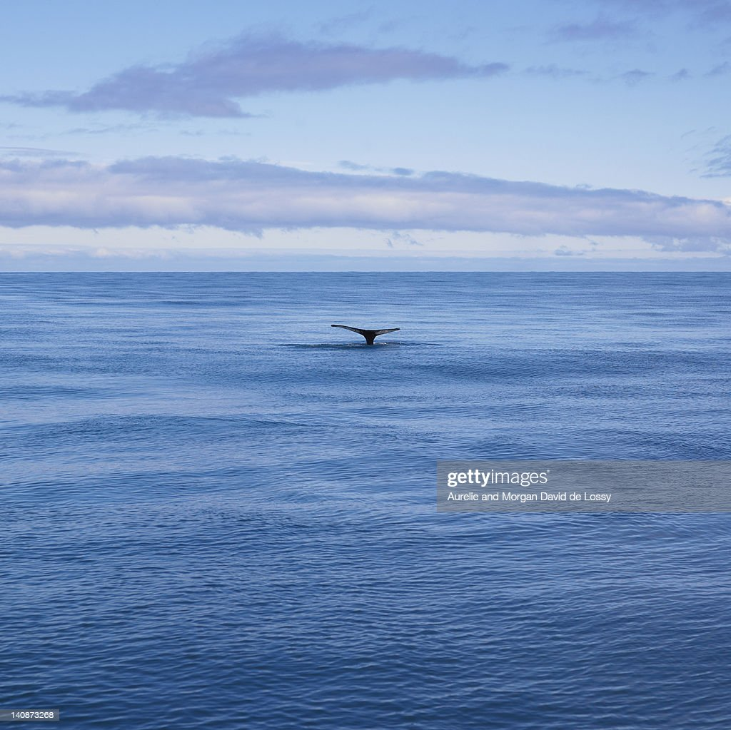 Whales tail in still ocean