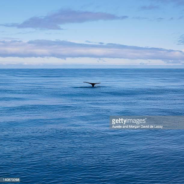 Whales tail in still ocean