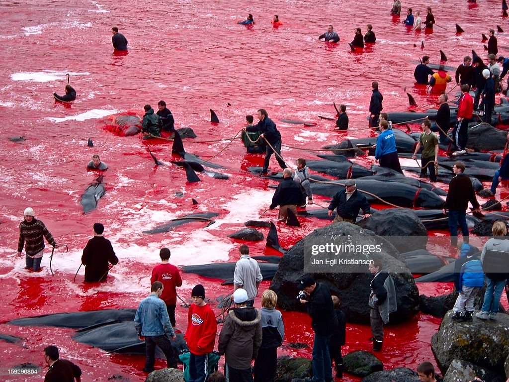 CONTENT] Whaling in Tórshavn. Dead pilot whales on the beach, blood in the water.