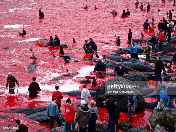 CONTENT] Whaling in Tórshavn Dead pilot whales on the beach blood in the water