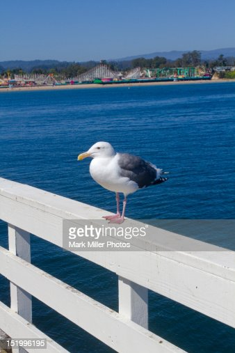 Wharf side seagull and Boardwalk : Stock Photo