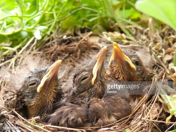 What a boring day! blackbird babies - 9 days old