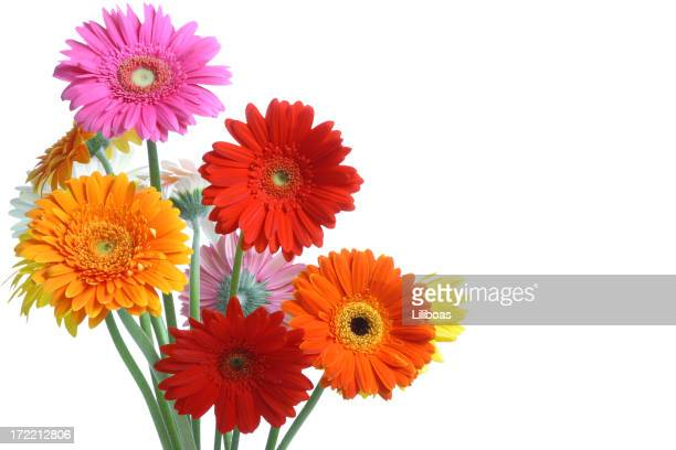 gerbera daisy stock photos and pictures  getty images, Beautiful flower