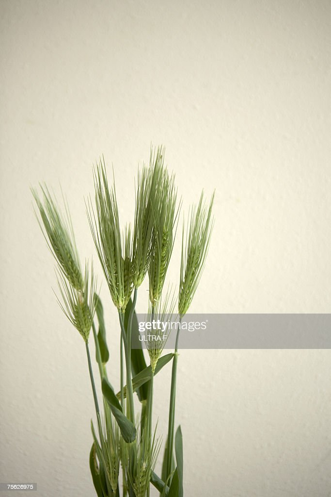Wheat (Triticum aestivum) against white background