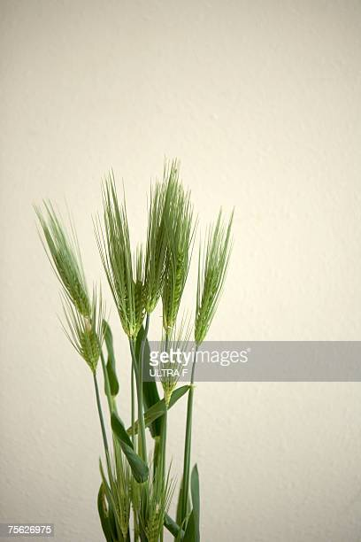 Wheat (Triticum aestivum) against white background