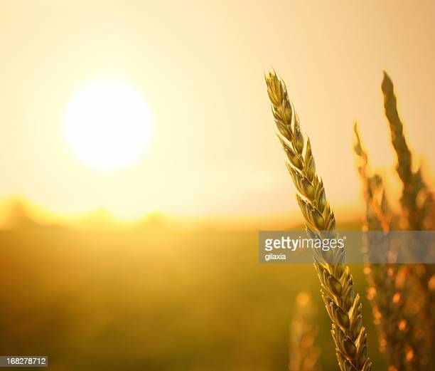 Wheat at sunset.