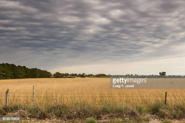 Wheat Crop Under a Gloomy Sky