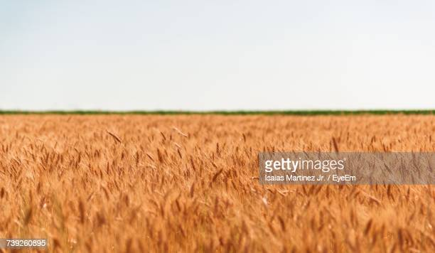 Wheat Field Against Clear Sky