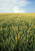 Wheat field,  Alberta,  Canada