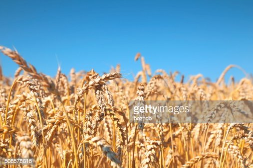 Wheat field and blue sky : Stock Photo