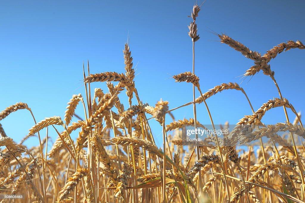 Trigo campo e céu azul : Foto de stock